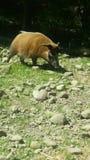Hog at zoo Royalty Free Stock Photos