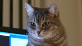 Hogar británico nacional del retrato del gato de la raza almacen de video