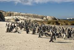 Hogar del pingüino africano Fotografía de archivo