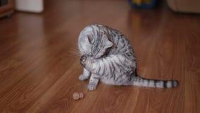 Hogar lindo de Cat Playing With Toy At, mintiendo en el piso almacen de metraje de vídeo