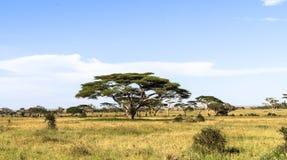 Hoge acacia in het centrum van Serengeti Tanzania, Afrika Stock Fotografie