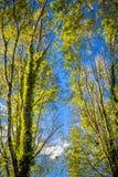 Hoge beuk bosbomen in blauwe hemel met zonstralen die door doordringen stock afbeelding