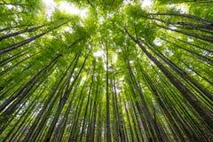 Hoge beukbomen Stock Afbeeldingen