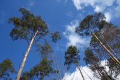Hoge bomen en hemel Stock Foto's