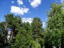 Hoge bomen in het park Royalty-vrije Stock Afbeelding