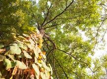 Hoge boom met betelblad in hoek van verhoging Royalty-vrije Stock Foto's