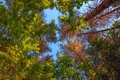 Hoge boomstammen van bomen in oorspronkelijk pijnboombos Stock Foto's