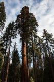 Hoge Californische sequoia Stock Afbeelding