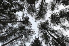 Hoge de achtergrond van de boomnaalden van de bosbomenpijnboom Stock Afbeelding