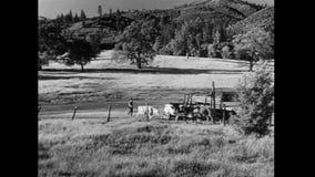 Hoge die hoek van herder met vee op grasrijk gebied wordt geschoten stock videobeelden