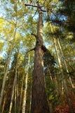 Hoge, dode boomstam van pijnboom Royalty-vrije Stock Afbeelding