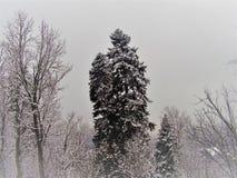 Hoge eeuwenoude pijnboom in een sneeuwbos stock afbeelding