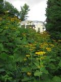 Hoge gele bloemen van heliopsis bij de piek van het bloeien in het park dichtbij het huis stock afbeelding