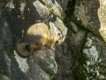 Hoge hoek die van een viscacha bij machupicchu wordt geschoten stock foto's