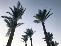 Hoge mooie tropische palmen met grote groene bladeren en stout dikke boomstammen tegen de achtergrond van de blauwe avondhemel royalty-vrije stock afbeeldingen