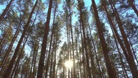 Hoge pijnbomenbomen in bos op wind bij mooie dag, zon door bomen stock video