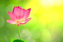 Hoge royalty - beeld van de kwaliteits het vrije voorraad van een roze lotusbloembloem stock fotografie