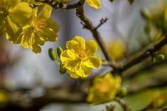 Hoge royalty - beeld van de kwaliteits het vrije voorraad van Ochna-bloem Ochna is symbool van Vietnamees traditioneel maannieuwj royalty-vrije stock afbeeldingen