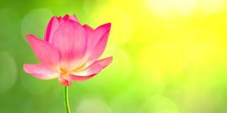Hoge royalty - beeld van de kwaliteits het vrije voorraad van roze lotusbloembloem Th stock foto's
