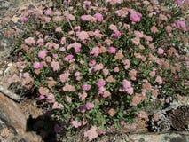 Hoge Siërra Alpien bloemenroze Royalty-vrije Stock Afbeeldingen