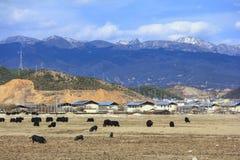 Hoge sneeuwbergen en Yaks op het gebied, landschap van Shangri-La Stock Afbeelding