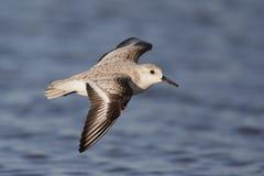 Hoge snelheid Sanderling Calidris tijdens de vlucht alba bij de kustlijn in Florida Stock Foto's