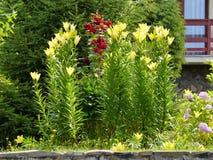 Hoge struiken van een zachte gele lelie op een achtergrond van rode rozen en tui Stock Afbeeldingen