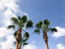 Hoge tropische zuidelijke woestijnpalmen met grote groene bladeren en sterke sterke boomstammen tegen de achtergrond van blauwe h stock afbeelding