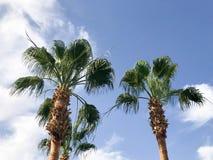 Hoge tropische zuidelijke woestijnpalmen met grote groene bladeren en sterke sterke boomstammen tegen de achtergrond van blauwe h Stock Fotografie