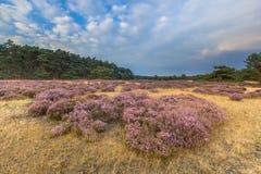Hoge Veluwe欧石南丛生的荒野 免版税库存照片