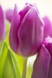 Hoge zeer belangrijke purpere tulp Stock Afbeeldingen