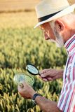 Hogere agronoom of landbouwer die tarwezaden onderzoeken onder het vergrootglas op het gebied, zoekend bladluis of andere parasie stock foto