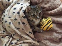 Hogere Diabetes Mannelijke Tabby Cat Resting stock foto's