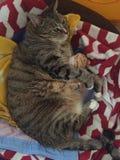 Hogere Diabetes Mannelijke Tabby Cat Resting royalty-vrije stock afbeeldingen