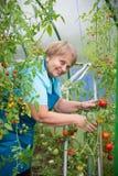 Hogere gepensioneerdevrouw die blauwe schort in serre met tomaat dragen Royalty-vrije Stock Fotografie