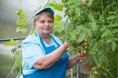 Hogere gepensioneerdevrouw die blauwe schort in serre met tomaat dragen Stock Afbeeldingen