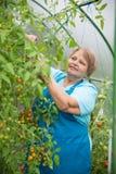 Hogere gepensioneerdevrouw die in serre met tomaat tuinieren Stock Fotografie