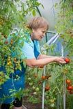 Hogere gepensioneerdevrouw die in serre met tomaat tuinieren Stock Afbeeldingen