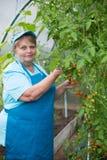 Hogere gepensioneerdevrouw in serre met tomaat Stock Afbeeldingen