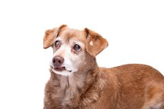 Hogere hond met cataract in zijn die ogen op een witte achtergrond worden geïsoleerd stock foto