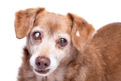 Hogere hond met cataract in zijn die ogen op een witte achtergrond worden ge?soleerd stock foto's