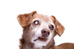 Hogere hond met cataract in zijn die ogen op een witte achtergrond worden ge?soleerd royalty-vrije stock afbeeldingen