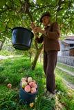 Hogere landbouwer het plukken appelen Stock Afbeeldingen