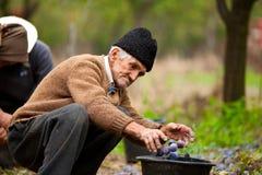 Hogere landbouwer het plukken pruimen Stock Foto's