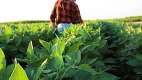 Hogere landbouwer op een gebied die gewas onderzoeken stock footage