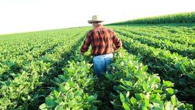 Hogere landbouwer op een gebied die gewas onderzoeken stock videobeelden