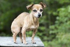 Hogere mannelijke Chihuahua-hond royalty-vrije stock foto's