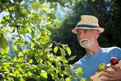 Hogere mens die fruit in de tuin controleren royalty-vrije stock foto
