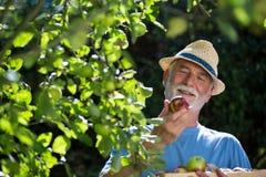 Hogere mens die fruit in de tuin controleren royalty-vrije stock fotografie