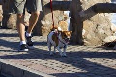 Hogere mens die hond voor een gang neemt Royalty-vrije Stock Foto's